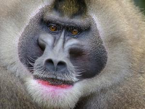 Drill Monkey (Mandrillus Leucophaeus) Adult Male, Portrait, Captive by Mark Bowler