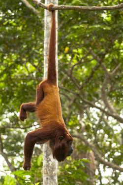 Red Howler Monkey (Alouatta Seniculus) Hanging by Prehensile Tail by Mark Bowler