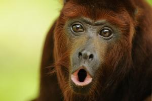 Red Howler Monkey (Alouatta Seniculus) Howling, Captive by Mark Bowler