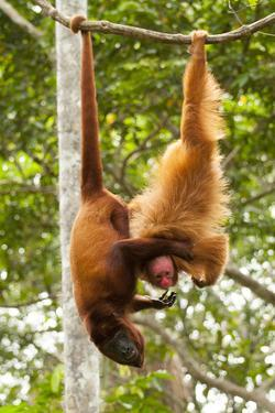Red Howler Monkey (Alouatta Seniculus) With Peruvian Red Uakari Monkey (Cacajao Calvus Ucayalii) by Mark Bowler
