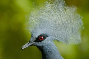 Victoria Crowned Pigeon (Goura Victoria) Head Portrait, Vulnerable Species, Captive by Mark Bowler