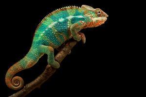 Chameleon by Mark Bridger