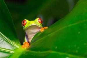 Yo! A Red Eye Tree Frog by Mark Bridger