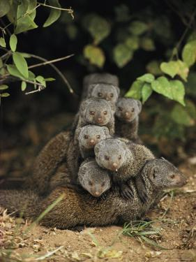 Family of Mongooses by Mark C. Ross