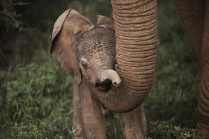 Newborn Elephant Being Held Up By Mother's Trunk by Mark C. Ross
