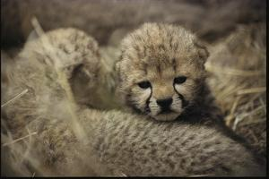 Three-day Old Cheetah Cubs by Mark C. Ross