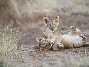 Two Male Lion Cubs Wrestle on the Trail in Samburu, Kenya, East Africa by Mark C. Ross