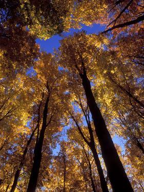 Blue Sky Through Sugar Maple Trees in Autumn Colors, Upper Peninsula, Michigan, USA by Mark Carlson