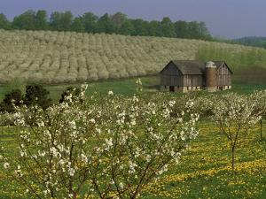 Old Barn Next to Blooming Cherry Orchard and Field of Dandelions, Leelanau County, Michigan, USA by Mark Carlson