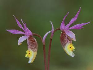 Pair of Calypso Orchids, Upper Peninsula, Michigan, USA by Mark Carlson