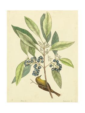 Catesby Bird and Botanical V by Mark Catesby