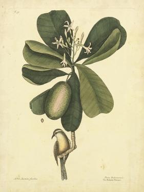 Catesby Bird & Botanical III by Mark Catesby
