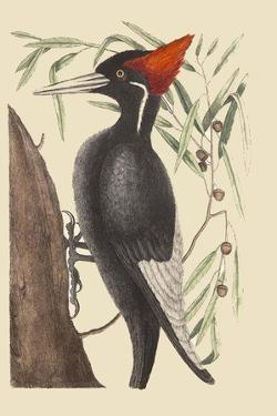 Large White Billed Woodpecker by Mark Catesby