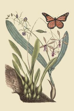 Monarch Butterfly by Mark Catesby