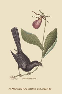 Razor Billed Blackbird of Jamaica by Mark Catesby