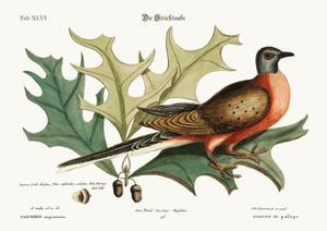 The Pigeon of Passage, 1749-73 by Mark Catesby