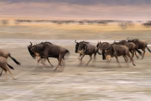 A Herd of Wildebeest Stampede across the Savanna by Mark Cosslett