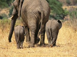 Rear View of Female Elephant Flanked by Two Babies by Mark Cosslett