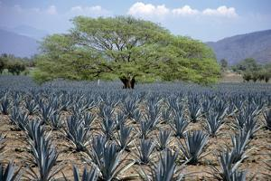 Huanacaxtle Tree in a Field of Young Blue Agave Plants, Tequila, Jalisco, Mexico by Mark D Callanan
