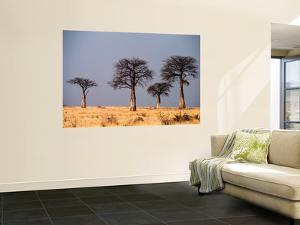 Baobab Trees on Horizon, Singida by Mark Daffey