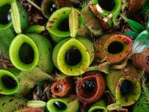 Nepenthes or Pitcher Plants, Sarawak, Malaysia by Mark Daffey