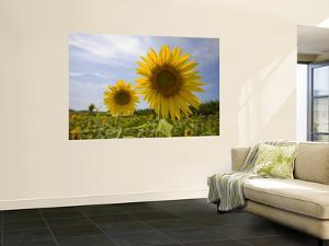 Sunflowers by Mark Daffey