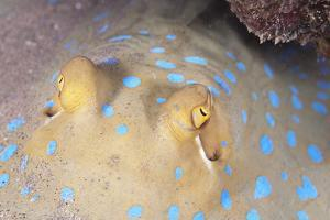 Close-Up of Eyes of a Bluespotted Stingray (Taeniura Lymma) by Mark Doherty