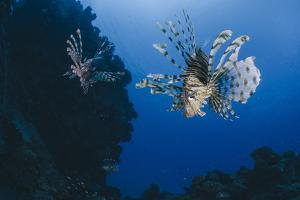 Common Lionfish (Pterois Miles), Front View, Naama Bay by Mark Doherty