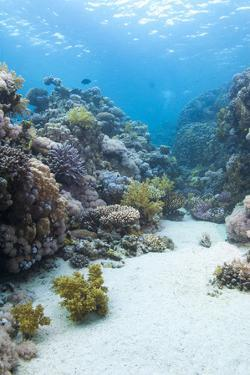 Coral Reef Scene Close to the Ocean Surface, Ras Mohammed Nat'l Pk, Off Sharm El Sheikh, Egypt by Mark Doherty