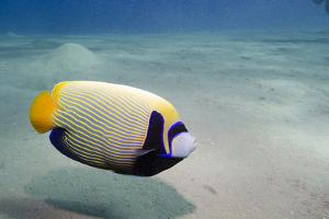 Emperor Angelfish (Pomacanthus Imperator) Close to Sandy Seabed by Mark Doherty