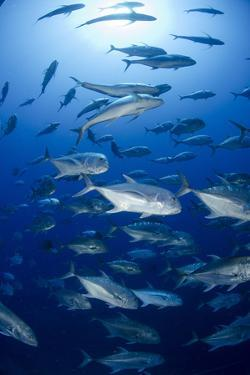 Giant Trevally (Caranx Ignobilis) Shoal Schooling by Mark Doherty