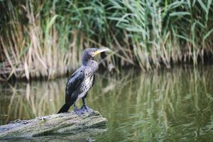 Great Cormorant (Phalacrocorax Carbo) Juvenile by Mark Doherty