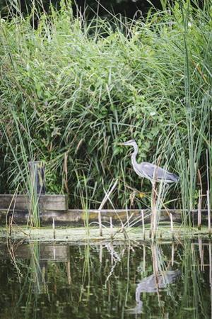 Grey Heron (Ardea Cinerea) by Waters Edge by Mark Doherty