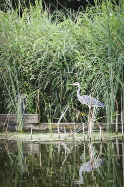 Grey Heron (Ardea Cinerea) by Waters Edge by Mark Doherty