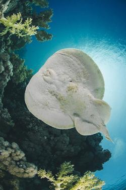 Leopard Torpedo Ray (Electric Ray) (Torpedo Panthera), Underside View, Back-Lit by the Sun by Mark Doherty