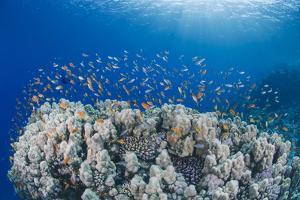 Lyretail Anthias (Pseudanthias Squamipinnis), School over Mountain Coral, Reef by Mark Doherty