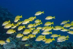 Medium Shoal or School of Blue Striped Snapper (Lutjanus Kasmira) by Mark Doherty