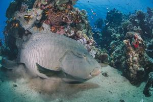 Napoleon Wrasse (Cheilinus Undulatus) Juvenile, an Endangered Species, Naama Bay by Mark Doherty