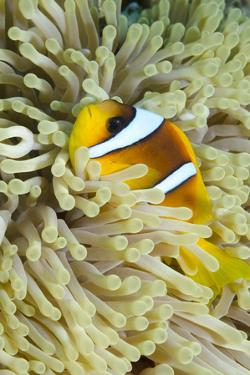 Red Sea Anemone Fish (Amphiprion Bicinctus) and Magnificent Anemone by Mark Doherty