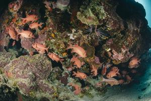 Small School of Blotcheye Soldierfish (White Edged Soldier Fish) (Myripristis Murdjan) by Mark Doherty