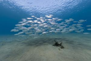 Small School of Indian Mackerel (Rastrelliger Kanagurta) in Shallow Water by Mark Doherty