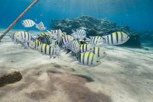 Small School of Sergeant Major Fish (Abudefduf Vaigiensis) in Shallow Sandy Bay by Mark Doherty