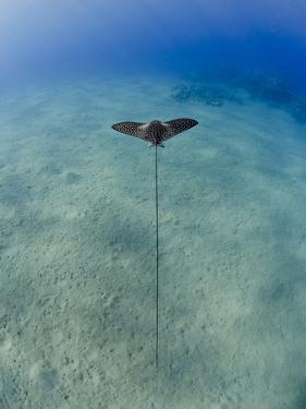 Spotted Eagle Ray (Aetobatis Narinari) Juvenile over Sandy Ocean Floor, from Above, Naama Bay by Mark Doherty