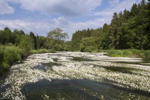 Water Crowfoot (Ranunculus Fluitans) by Mark Doherty