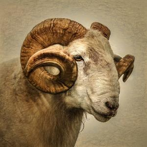 Close up of a Ram with large horns by Mark Gemmell