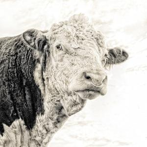 Close Up of Bull's Head by Mark Gemmell