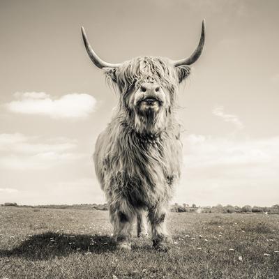 Close up portrait of Scottish Highland cattle on a farm