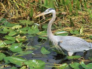Great Blue Heron, Everglades National Park, FL by Mark Gibson