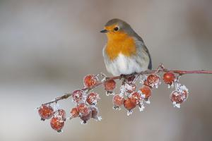 Adult Robin (Erithacus Rubecula) in Winter, Perched on Twig with Frozen Crab Apples, Scotland, UK by Mark Hamblin