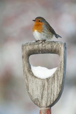 Adult Robin (Erithacus Rubecula) Perched on Spade Handle in the Snow in Winter, Scotland, UK by Mark Hamblin
